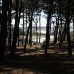 bosque-de-pinos